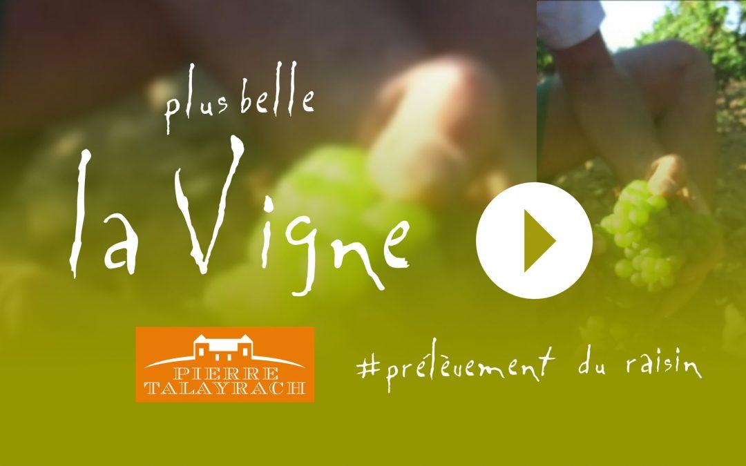 Plus Belle La Vigne #10 : Prélèvement du raisin