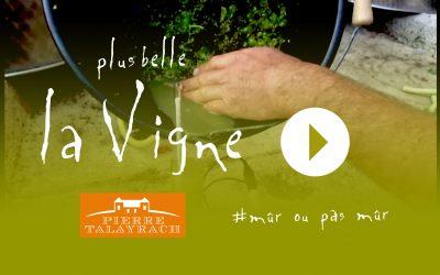 Plus Belle La Vigne #11 : Mûr ou pas mûr ?